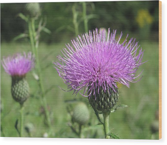 Thistle Wood Print by Jill Bell