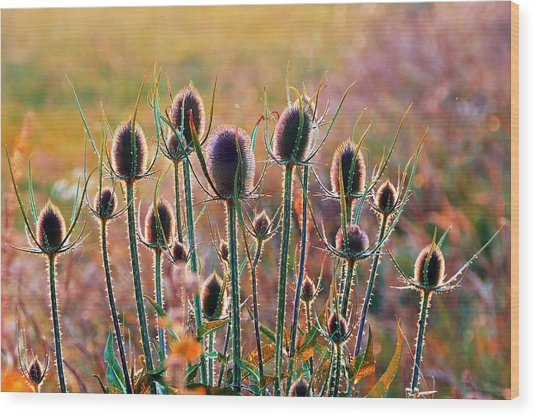 Thistles With Sunset Light Wood Print