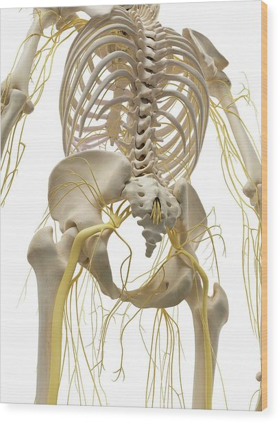 Thoracic Bones And Nerves Wood Print by Sciepro