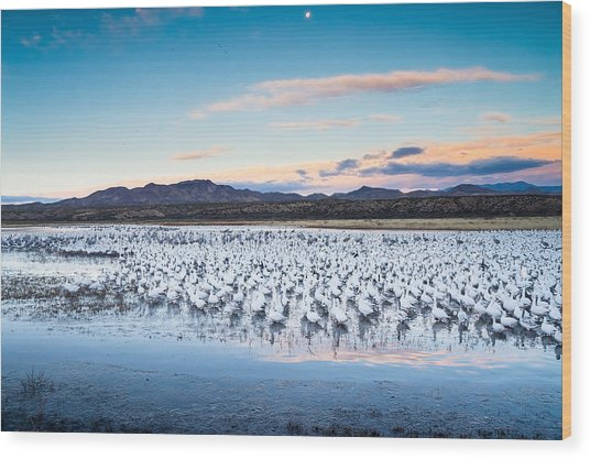 Snow Geese And Sandhill Cranes Before The Sunrise Flight - Bosque Del Apache, New Mexico Wood Print