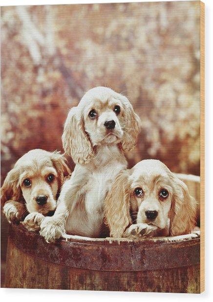 Three Blond Cocker Spaniel Puppies Wood Print
