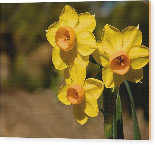Three Daffodils Wood Print