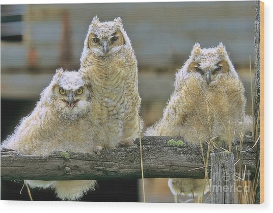 Three Great-horned Owl Chicks Wood Print