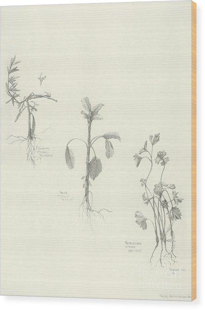 Three Herbs Wood Print