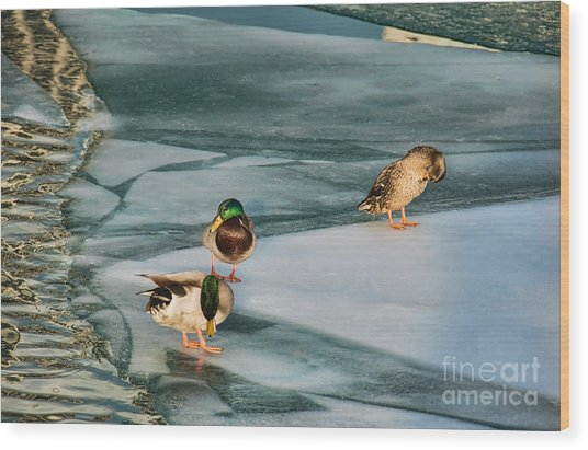 Three Mallards On Partly Frozen Lake Wood Print