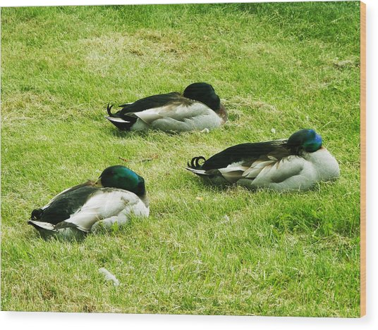 Three Napping Ducks  Wood Print