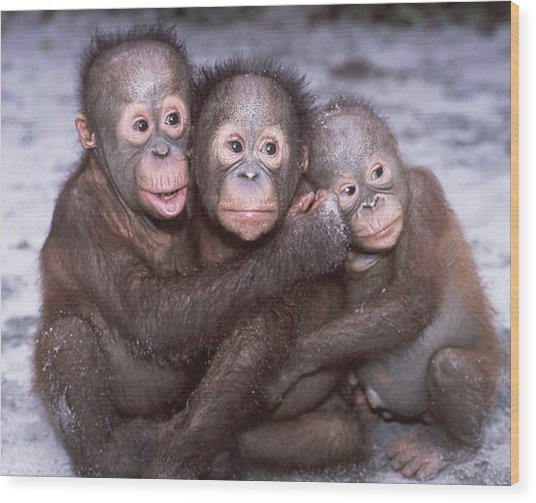 Three Orangutan Babies Wood Print