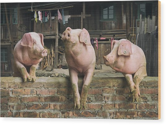 Three Pigs Having A Chat In A Remote Wood Print by Mediaproduction