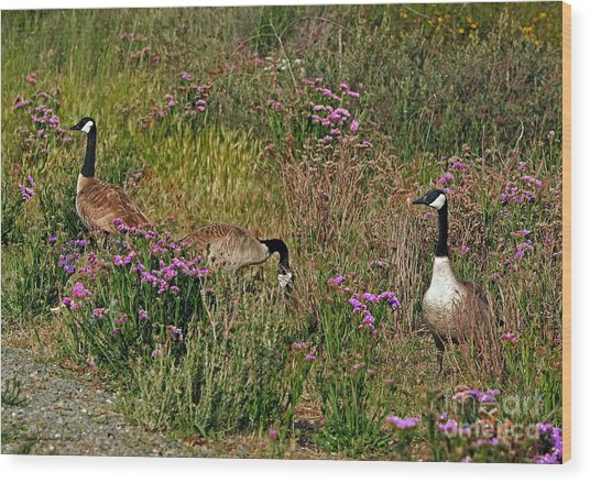 Three Quiet Canada Geese Wood Print