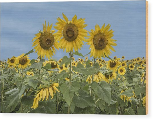 Three Sunflowers At The Front Of A Sunflower Field Wood Print