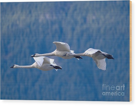Three Swans Flying Wood Print