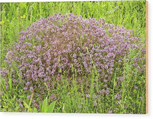 Thyme (thymus Glabrescens) On Anthill Wood Print