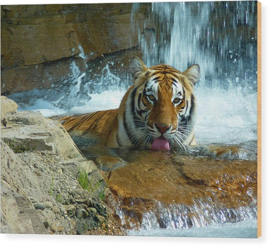 Tiger Cool Aid Wood Print