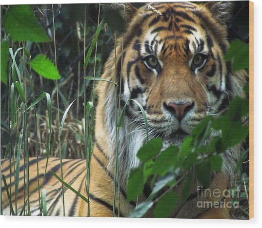 Tiger Eyes Wood Print