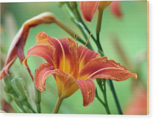 Tiger Lilly Wood Print