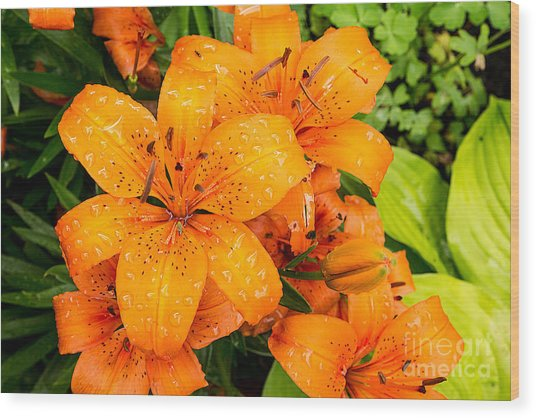 Tiger Lily After Morning Rain Wood Print