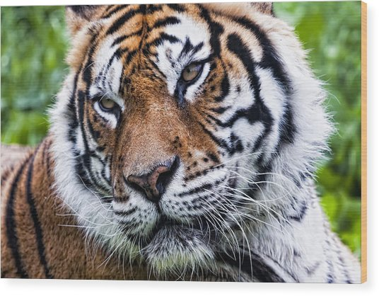 Tiger On Grass Wood Print