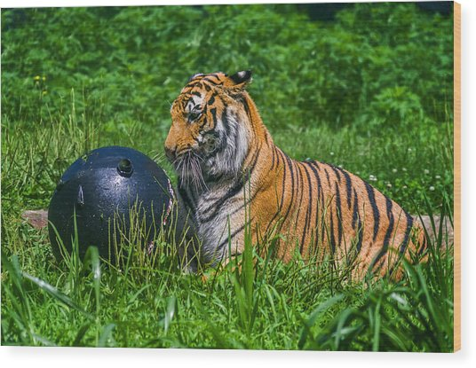 Tiger Playing With Ball Wood Print