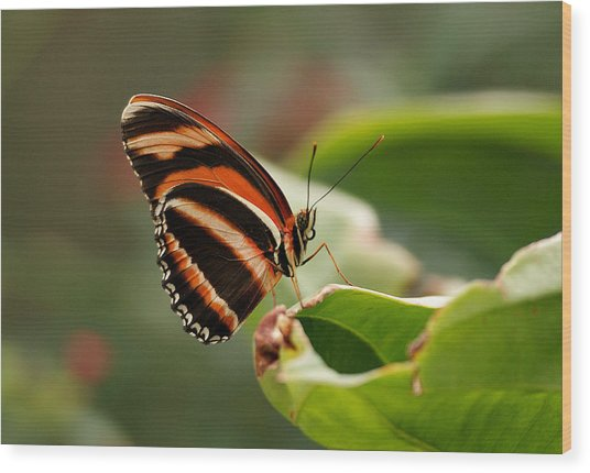 Tiger Striped Butterfly Wood Print