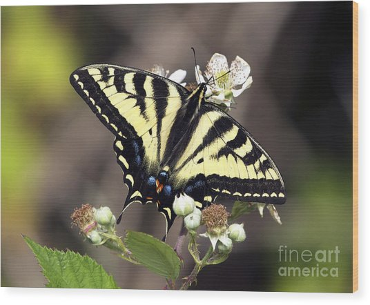 Tiger Swallowtail Butterfly 2a Wood Print by Sharon Talson