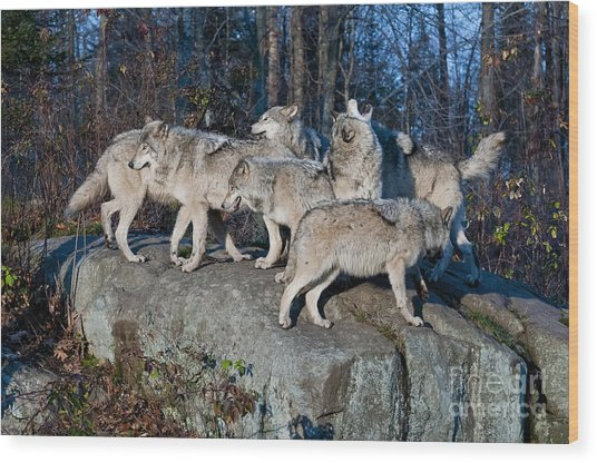 Timber Wolf Pack Wood Print