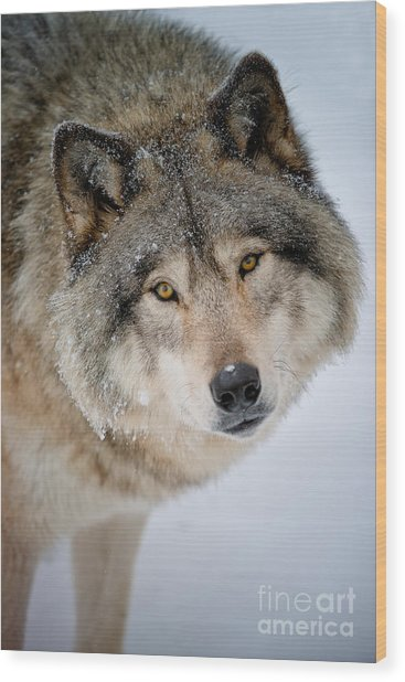 Timber Wolf Pictures 255 Wood Print