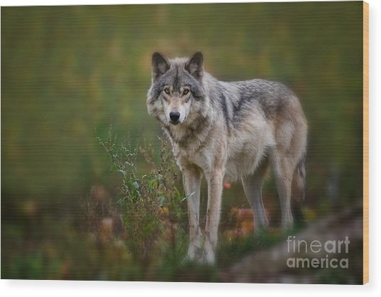 Timber Wolf Pictures 401 Wood Print