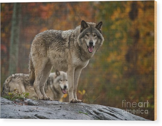Timber Wolf Pictures 410 Wood Print