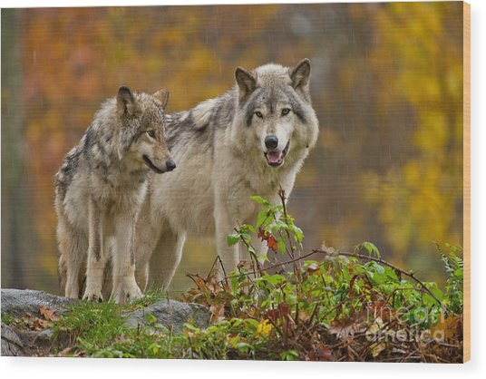 Timber Wolf Pictures 411 Wood Print