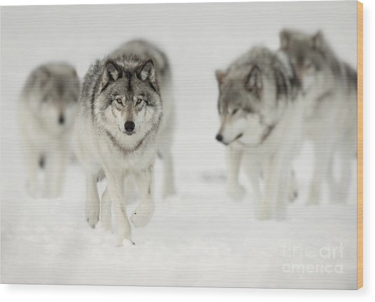 Timber Wolf Pictures 65 Wood Print