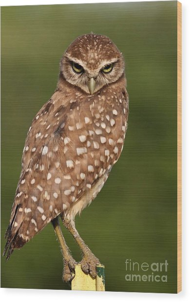 Tiny Burrowing Owl Wood Print
