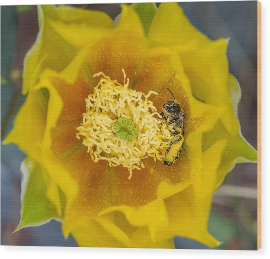 Tiny Dark Bee Covered In Prickly Pear Pollen Wood Print