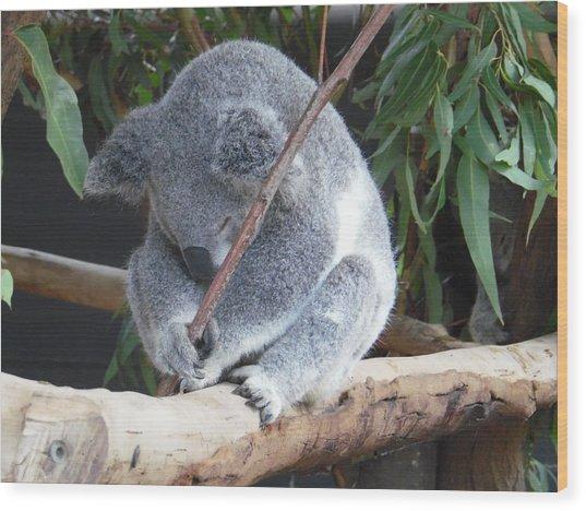 Tired Koala Bear With Stick Wood Print