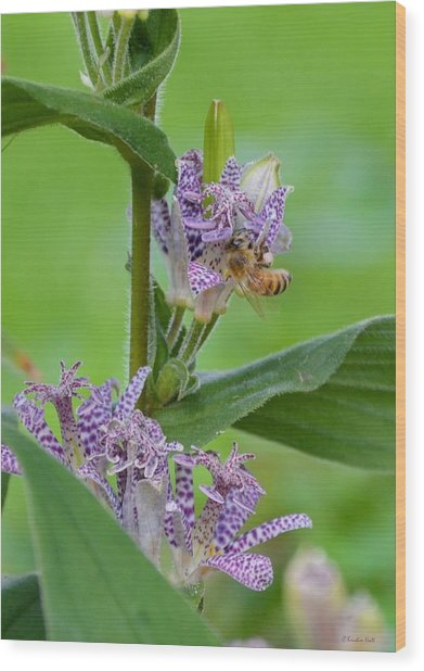 Toad Lily And Hover Fly Wood Print