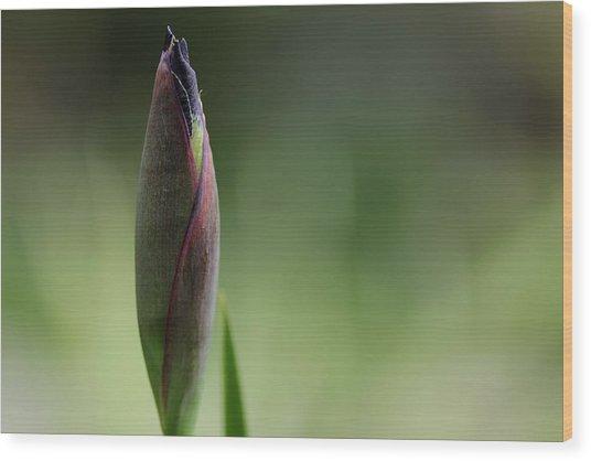 Today A Bud - Purple Iris Wood Print