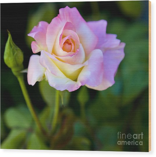 Rose-touch Me Softly Wood Print