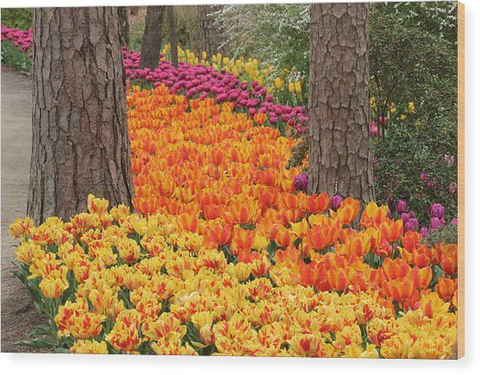 Trail Of Tulips Wood Print