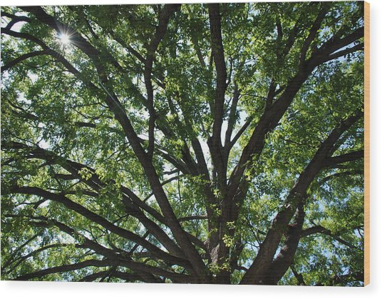 Tree Canopy Sunburst Wood Print