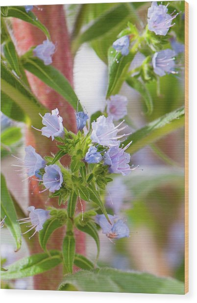 Tree Echium (echium Pininana) Wood Print