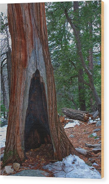 Tree Hollow Wood Print by Peter Tellone