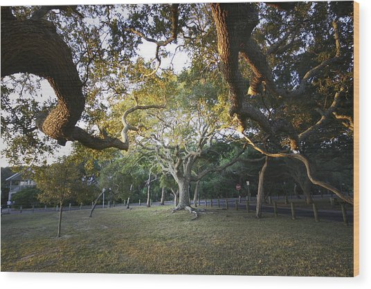 Tree In St. Augustine Park Wood Print