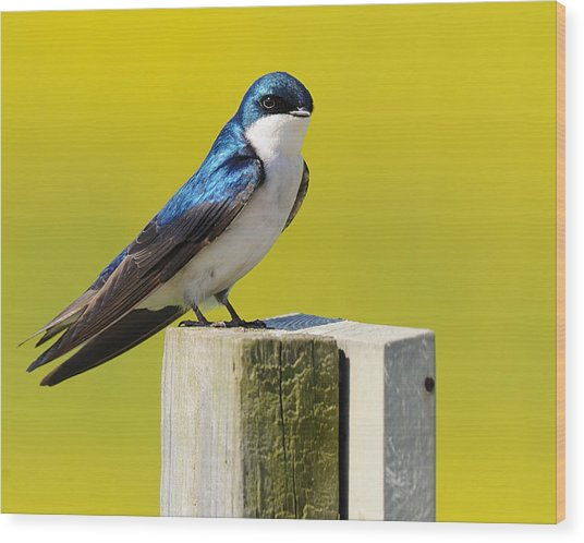 Tree Swallow Wood Print by Angel Cher
