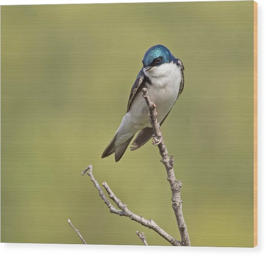 Tree Swallow Wood Print by Brian Magnier