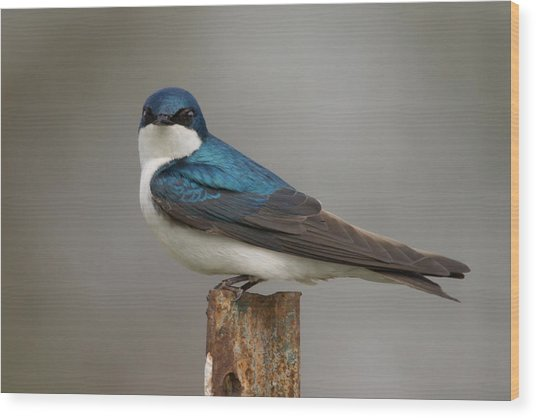 Tree Swallow In Mating Colors Wood Print by Doug Underwood