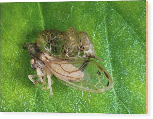 Treehopper Wood Print by Philippe Psaila/science Photo Library