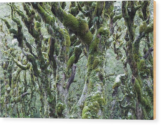 Trees Covered With Moss And Frost, New Wood Print by Matteo Colombo