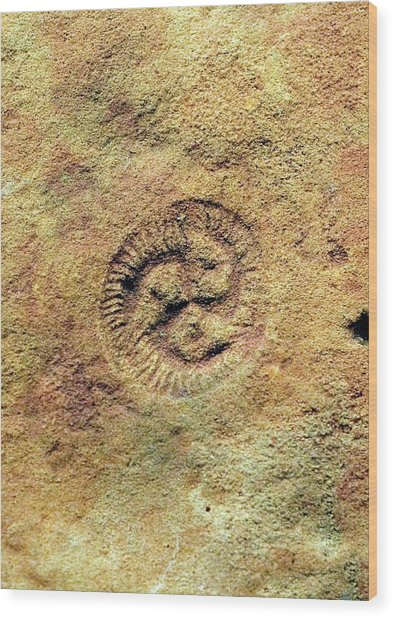 Tribrachidium Fossil Wood Print by Sinclair Stammers/science Photo Library