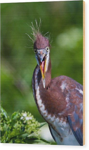 Tricolored Heron In Awe Wood Print
