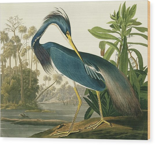 Tricoloured Heron Wood Print