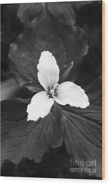 Trillium In Black And White Wood Print by Cari Gesch